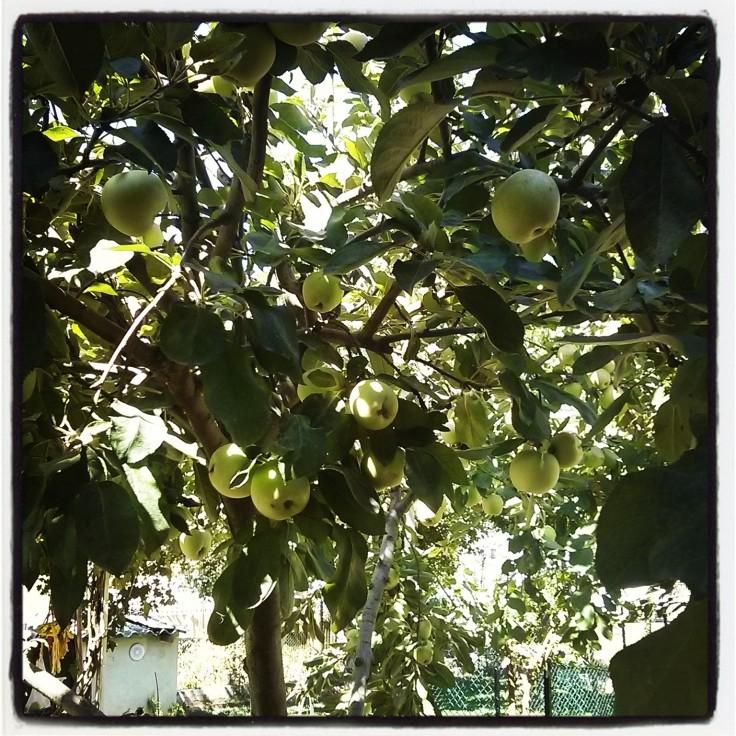 Altınova- Bahçedeki elma ağacı